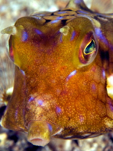 Boxfish Portrait by Iyad Suleyman 